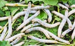 еда глиста шелковицы листьев silk Стоковые Изображения RF
