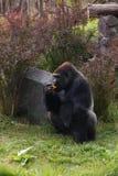 еда гориллы стоковая фотография rf