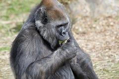 еда женской гориллы стоковое фото
