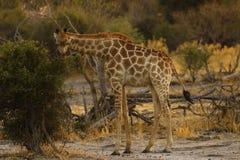 Еда жирафа мира самая высокорослая млекопитающаяся стоковое фото rf