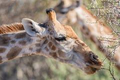 Еда жирафа Стоковые Изображения RF