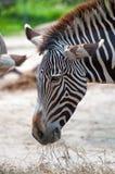 еда зебры Стоковое Изображение