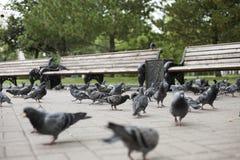 Еда клевка голубей стоковое изображение rf