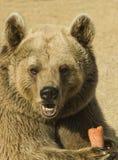 еда коричневого цвета медведя стоковая фотография rf