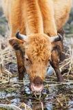 еда коровы Стоковые Изображения RF