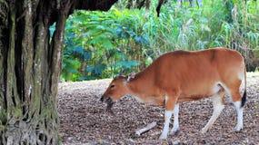 еда коровы banteng Стоковые Изображения RF