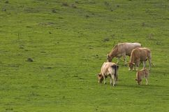 еда коров Стоковое фото RF