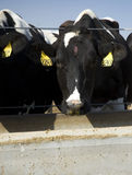 еда коров Стоковое Фото