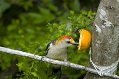 еда, котор противостоят золотистого померанцового woodpecker Стоковое Фото