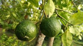 Еда лимона выпивая стоковые фотографии rf