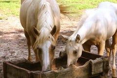 еда лошадей Стоковое Изображение