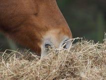 еда лошади сена Стоковые Фотографии RF