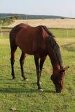 еда лошади Стоковое Изображение RF