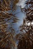 Еда лужка природы земледелия поля пшеницы растущая Стоковые Изображения RF