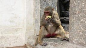 еда обезьяны плодоовощ видеоматериал