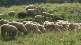 еда овец травы сток-видео