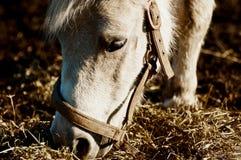 еда пониа лошади Стоковые Фотографии RF