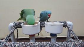 Еда попугаев любимчика Стоковые Изображения