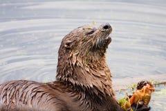 еда реки выдры рыб Стоковые Фото