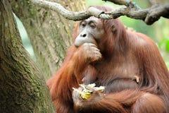 еда сахарного тростника orangutans Стоковые Изображения RF