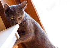 Еда серого кота Стоковое фото RF