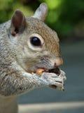 еда серой белки арахиса Стоковое Изображение