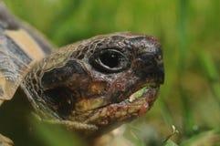 еда черепахи травы Стоковая Фотография RF