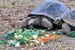 еда черепах galapagos гигантских Стоковые Изображения RF