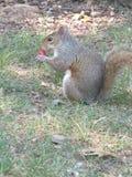еда chipmunk ягоды Стоковое фото RF