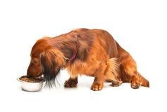 еда dachshund Стоковое Изображение