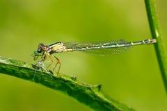 еда dragonfly Стоковые Изображения RF