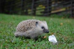 еда hedgehog яичка стоковое фото