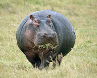 еда hippopotamus травы Стоковая Фотография