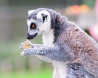 еда lemur Стоковые Фотографии RF