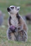 еда lemur Стоковые Изображения RF