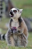 еда lemur Стоковые Фото