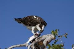 еда pandion osprey haliaetus рыб Стоковые Изображения RF