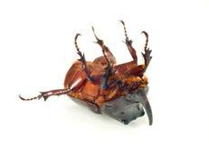 единорог rhinoceros живота жука Стоковая Фотография RF