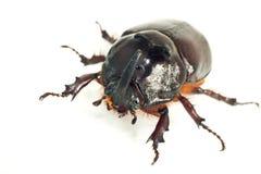 единорог rhinoceros макроса жука Стоковые Изображения RF