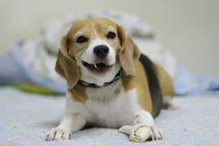 Ее имя Chamoy Собака в Таиланде Стоковые Фотографии RF