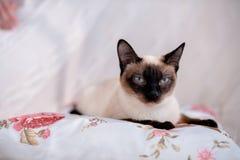 лежать кота сиамский Стоковые Изображения