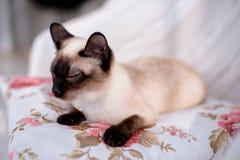 лежать кота сиамский Стоковое фото RF
