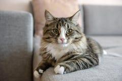 лежать кресла кота Кот ослабляя на кресле Стоковые Изображения RF