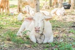лежать травы коровы Стоковые Фотографии RF