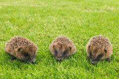 3 ежа младенца ища для еды на траве Стоковые Фотографии RF