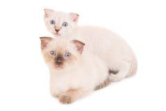 2 лежа чистоплеменных котят Стоковые Изображения