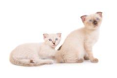 2 лежа чистоплеменных котят Стоковое Изображение