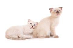 2 лежа чистоплеменных котят Стоковое фото RF