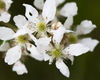ежевика Алабамы цветет одичалое Стоковая Фотография