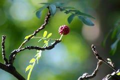 Ежевика голубики поленики Стоковое Фото